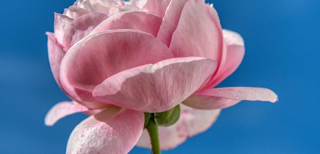 rose, flower, blossoms